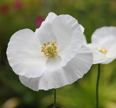 Poppy 'Bridal Silk' Papaver rhoeas - Glistening white petals accented with a bright yellow stamens make tis a must have for those of you that love white in your flower garden. Self sows.