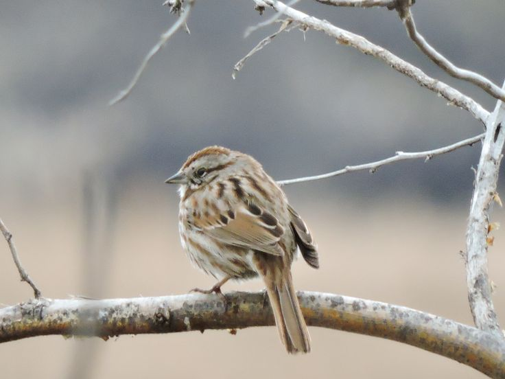 Song Sparrow ©Eileen Rutherford. Wild Bird Company - Boulder, CO. Saturday Morning Bird Walk at Sombrero Marsh - April 18, 2015.