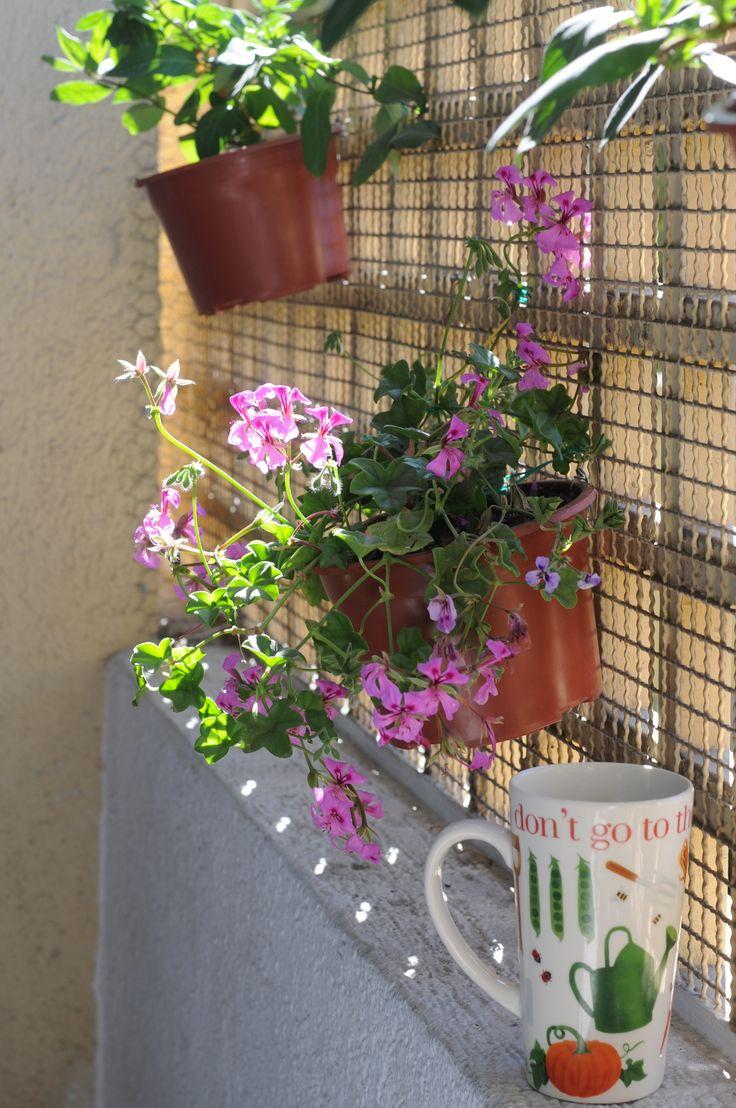 Detalle en borde de terraza, Pelargonium peltatum