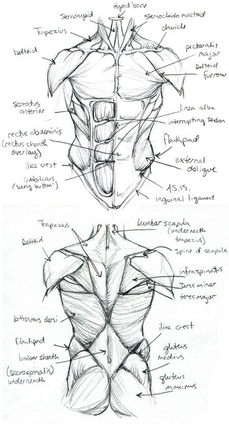 Anatomy+Final.TorsoStudy+by+Quackamos.deviantart.com+on+@deviantART