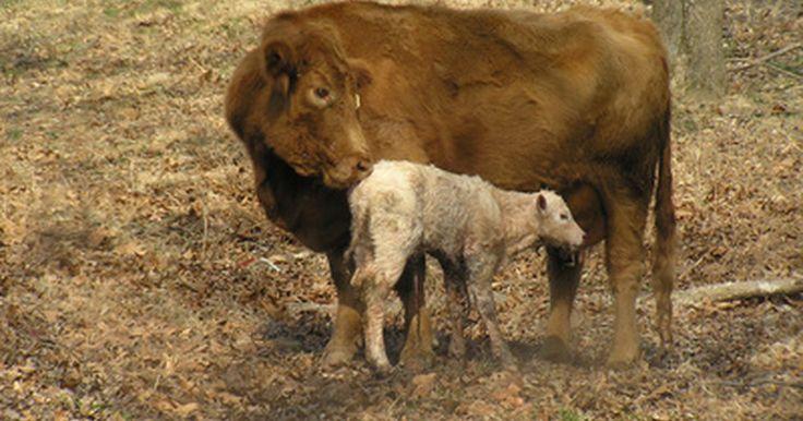 """O que é colostro bovino?. O colostro é o primeiro leite produzido por uma fêmea mamífera após dar à luz. Beber este leite é importante para a saúde do recém-nascido. A palavra """"bovino"""" é o termo científico para """"vaca"""". Portanto, colostro bovino é o primeiro leite produzido por uma vaca após o nascimento do seu bezerro."""