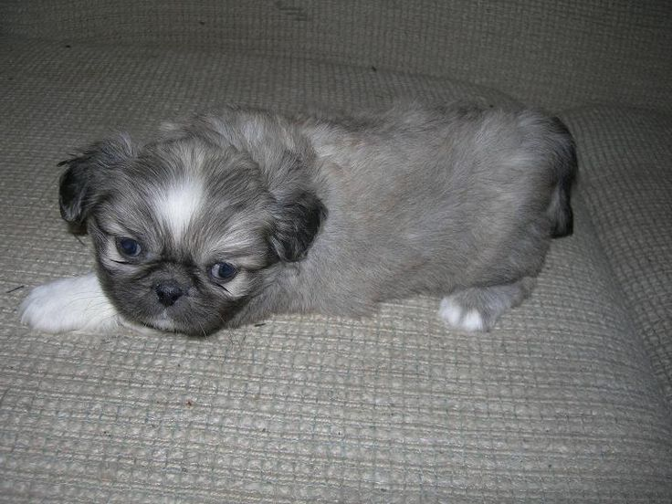 blue+pekingese+puppies+for+Sale | Picture of a Sable Pekingese Puppy Dog previously for sale
