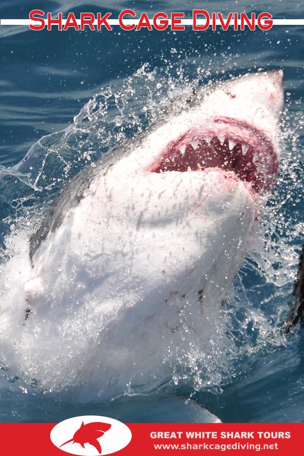 Diving With Sharks - For an awe-inspiring thrill, experience great white shark cage diving in Kleinbaai, Gansbaai and around Dyer Island / Shark Alley.