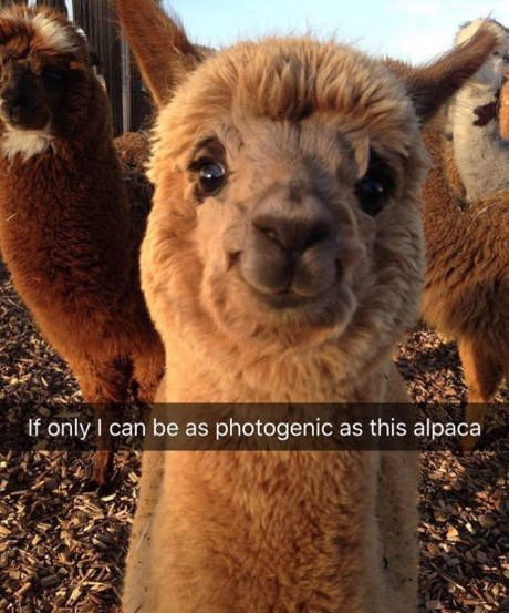 Photoshopped? Not sure but kind of looks that way to me. Looks like an expensive stuffed alpaca. I live across the street from an alpaca farm AND I have 2 llamas AND 75 head of sheep...never have I seen any of our animals look like this cute as it may well be!