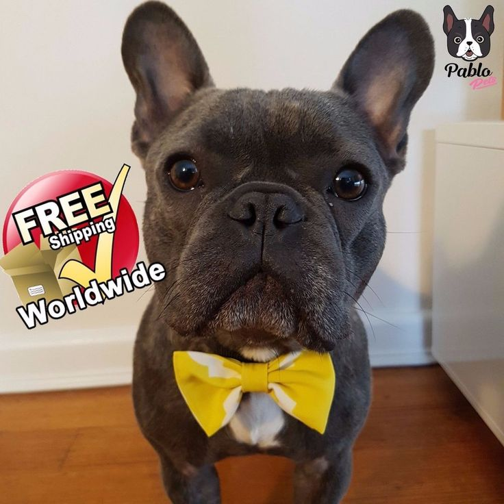 Cat or Dog BOW TIE in 'It was all YELLOW' By Pablo Pets || French Bulldog Model #PabloPets