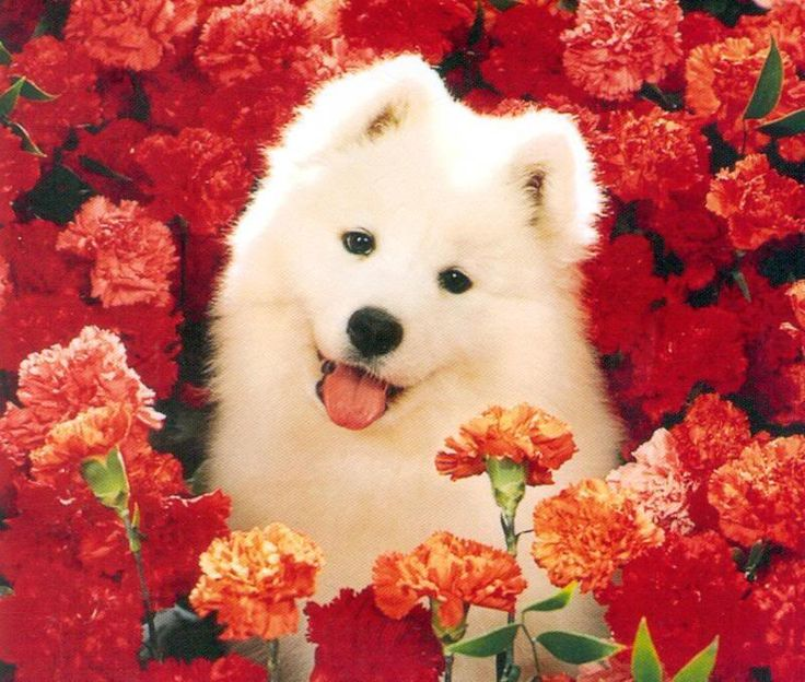 My dog Meiko is a Samoyed and I think this is the prettiest breed ever.