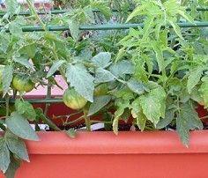 Cultivo del pimiento, chile, ají, morrón (Ficha) – Ecocosas