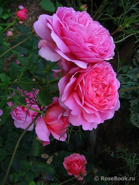 'Princess Alexandra of Kent' | English Rose David C. H. Austin, 2007 | © nijole