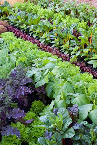 Large vegetable bed with rows of salad leaves, herbs & vegetables including Parsley, beans, Kale, Chard & Lettuce. The Key. Designer Paul Stone. Sponsor Eden Project in partnership with Homes & Communities Agencies.