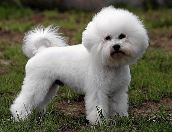 Best Dog Food For Bichon Frise With Allergies