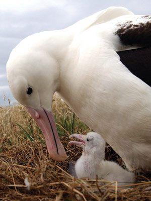 Royal Albatross. Seen on Taiaroa Head, Otago Peninsula, New Zealand.