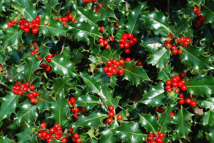 dwarf holly shrubs with red berries | Holly Bushes with Red Berries