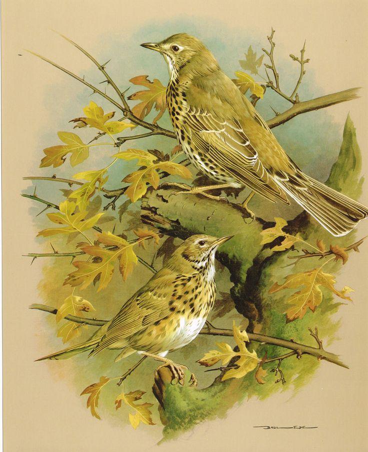 The Song Thrush & The Mistle Thrush - Vintage 1965 Bird Print by Basil Ede