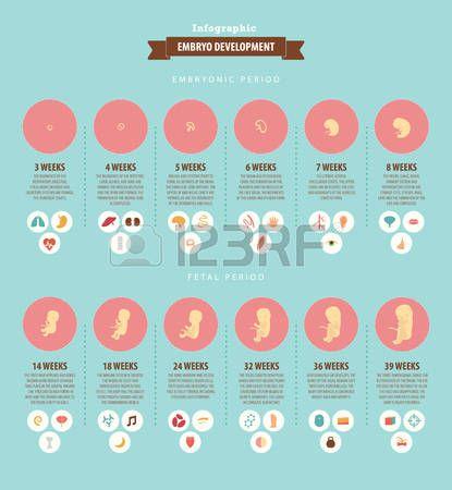 Ontwikkeling van het embryo infographic over de prenatale ontwikkeling van een kind in weken Eenvoud Stockfoto