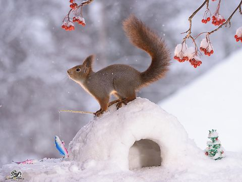 red squirrels with an igloo in the snow