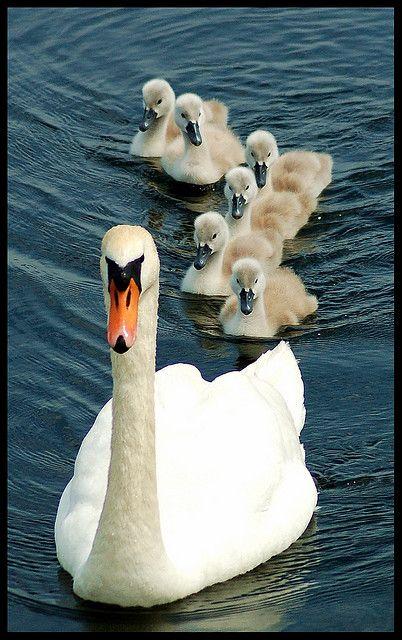Swans,Finland's nationalbirds