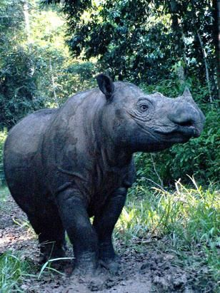 Sumatran Rhino, thought to be less than 100 alive in the world, after habitat destruction and illegal poaching.