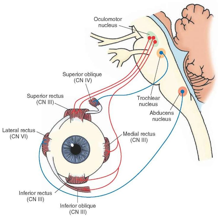 Origin and distribution of cranial nerves (CN) VI, IV, and III, which innervate extraocular eye muscles. The focus of the upper part of this figure includes the abducens nerve (CN VI) and the general somatic efferent component of the oculomotor nerve (CN III), which are essential for horizontal gaze. The lower part of this figure depicts the muscles of the eye and their relationship with CN III, IV, and VI.