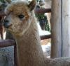 Quality Alpacas For Sale in Ontario from Top Alpaca Breeder Ontario Canada Alpacas For Sale
