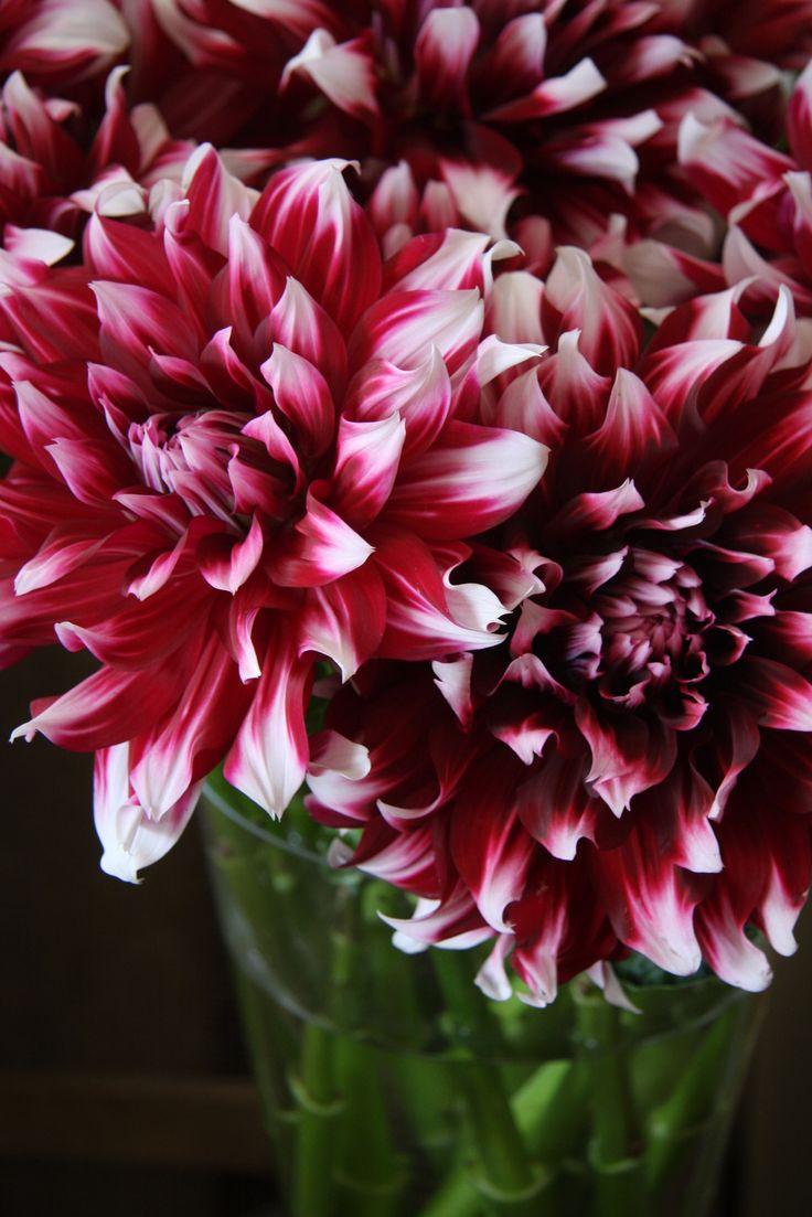 best dahlias images on pinterest beautiful flowers pretty