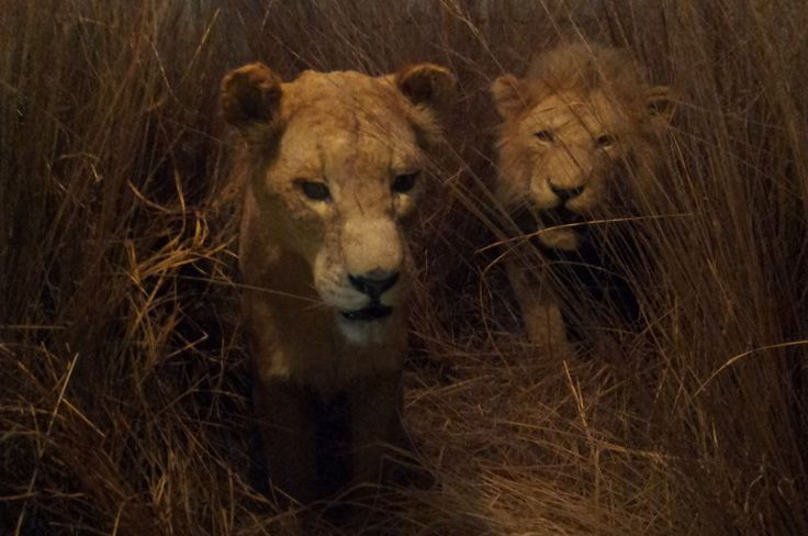 Lion and lioness in the wild... Thanks for watching!!!