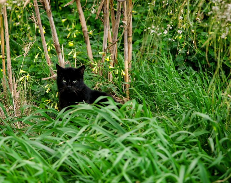 Black Cat - Black Feral Cat hiding behind the green growth.