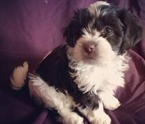 Chocolate Havanese puppies for sale in New England. In-home breeder of quality AKC Havanese, specializing in the chocolate color.