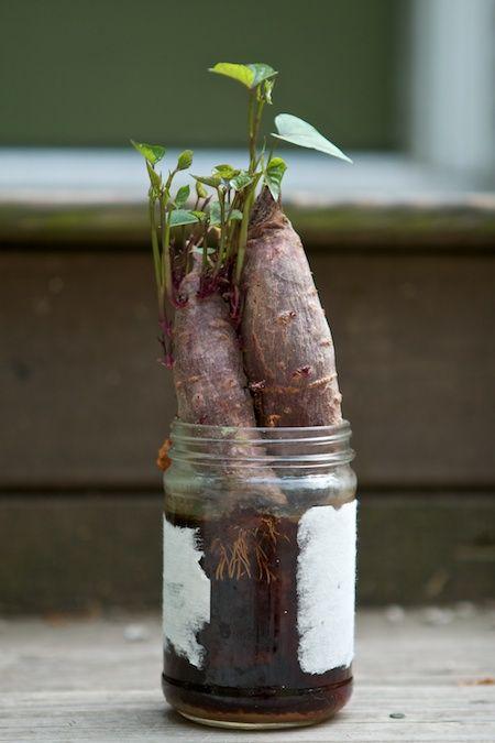 how to make sweet potato slips for planting