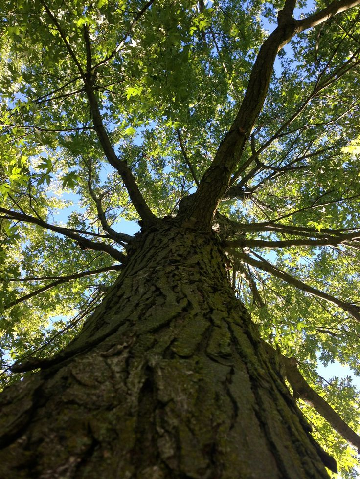 Guelph Tree