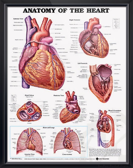 Anatomy of The Heart poster shows anterior, posterior and superior views of the heart with ventricles. Cardiology chart for doctors and nurses. #clinicalposters
