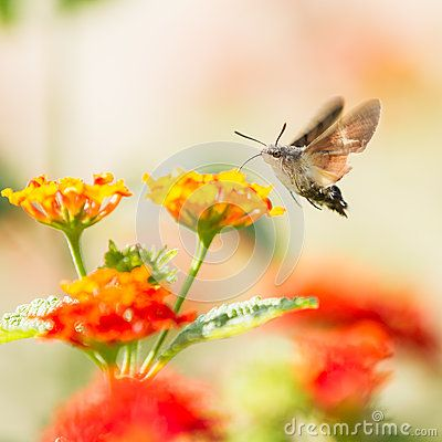 Download Sfingidae Royalty Free Stock Images for free or as low as 6.85 руб.. New users enjoy 60% OFF. 20,494,018 high-resolution stock photos and vector illustrations. Image: 36123199