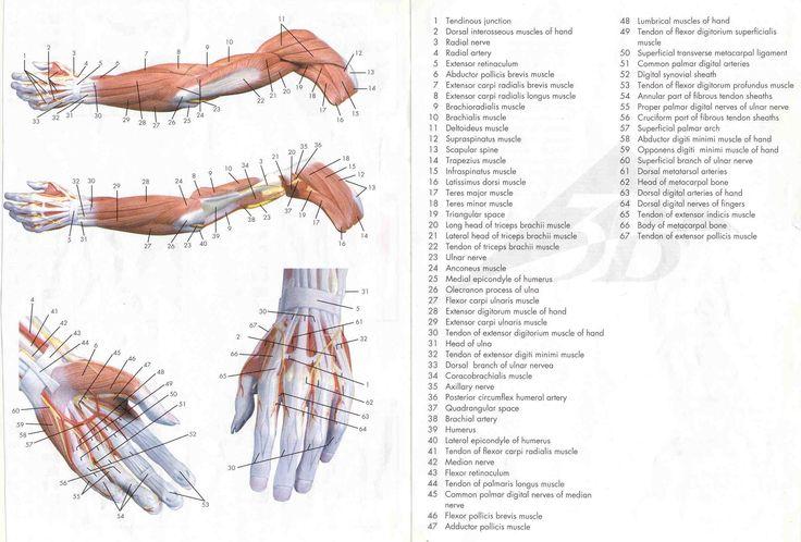 Mejores 18 imágenes de muscle_arm en Pinterest | Músculos del ...