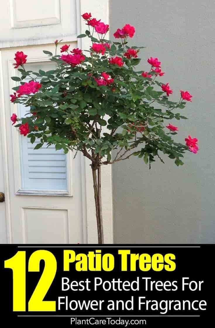 Patio Trees Best Potted Trees For Flower Fragrance And Patio