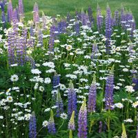 Lupine and Daisies {plant wildflower seeds in the fall}