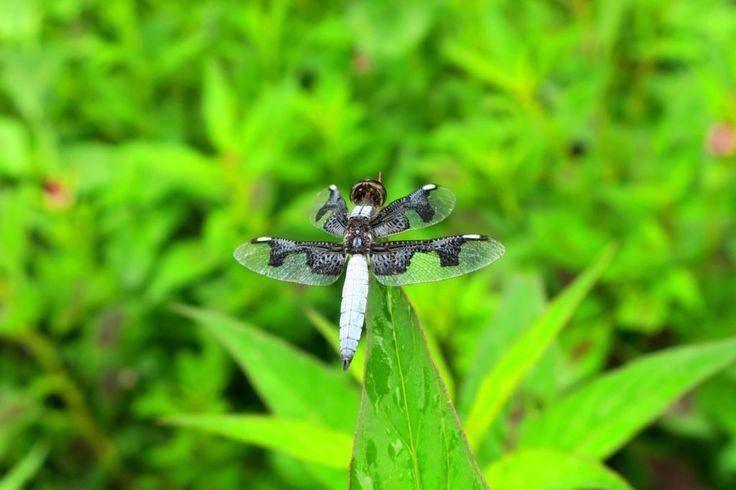 Libelle, Palpopleura portia, Männchen - Elfenbeinküste