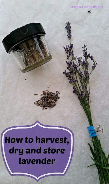 Feathers in the woods: How to harvest and dry lavender