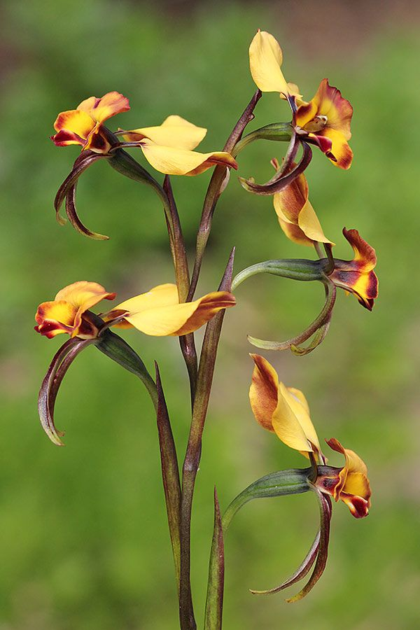 Diuris corymbosa | Diuris corymbosa » The Orchids of Western Australia