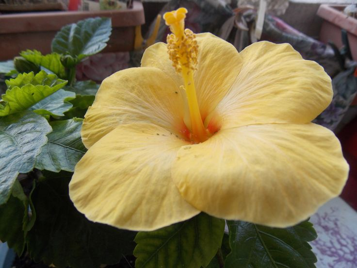 12 best nos fleurs images on pinterest | flowers, hibiscus and