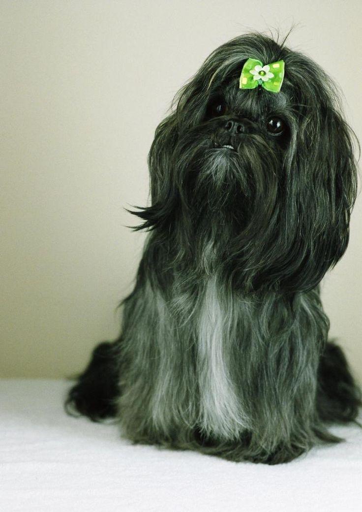 Emi   #shihTzu #dog #thebest #photo #session