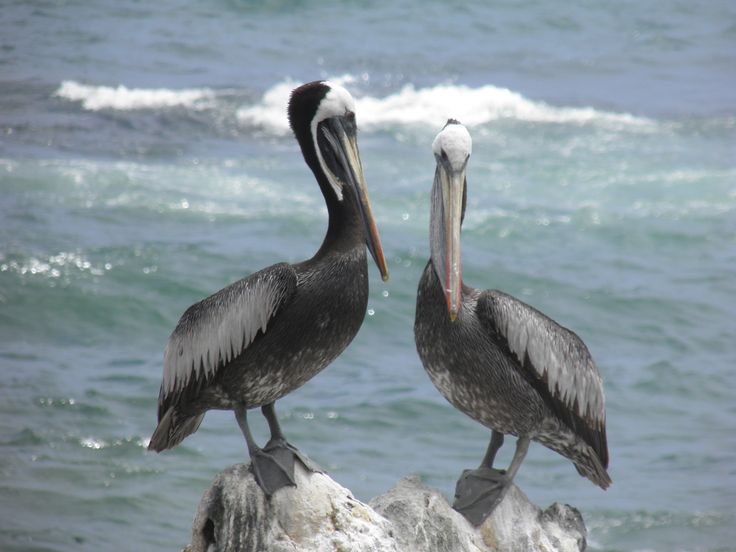 Pelícanos. Viña Del Mar, Chile.