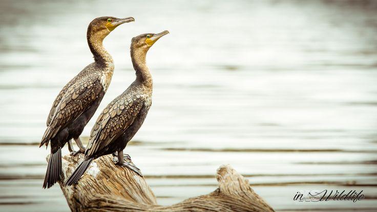White-breasted Cormorants ©inXSWildlife #wildlifephotography #inxswildlife #cormorants #wildlife #krugernationalpark #lakepanic #waterbirds