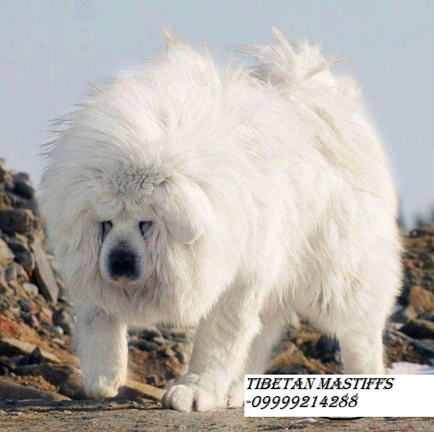 white tibetan mastiff | White tibetan mastiff puppies in india book now 09999214288 chennai