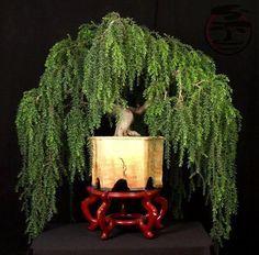 weeping bonsai