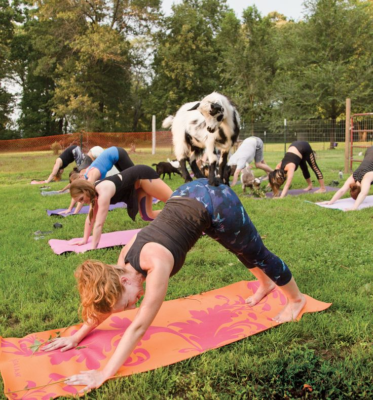 Goat Yoga is Your New Favorite Workout