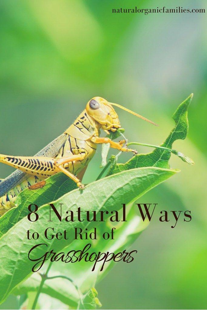 34c6b799a671f1d1eb57163378127937 - How To Get Rid Of Grasshoppers On My Plants