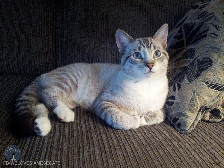Lynx Point Siamese Cats Have Well Defined Stripes Around