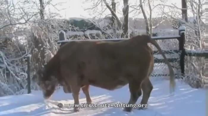 17 Year Old Cow Playing in the Snow - 9GAG