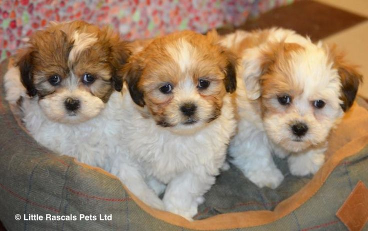 Stunning Shichon/Zuchon babies - Designer and Cross Breed Puppies For Sale