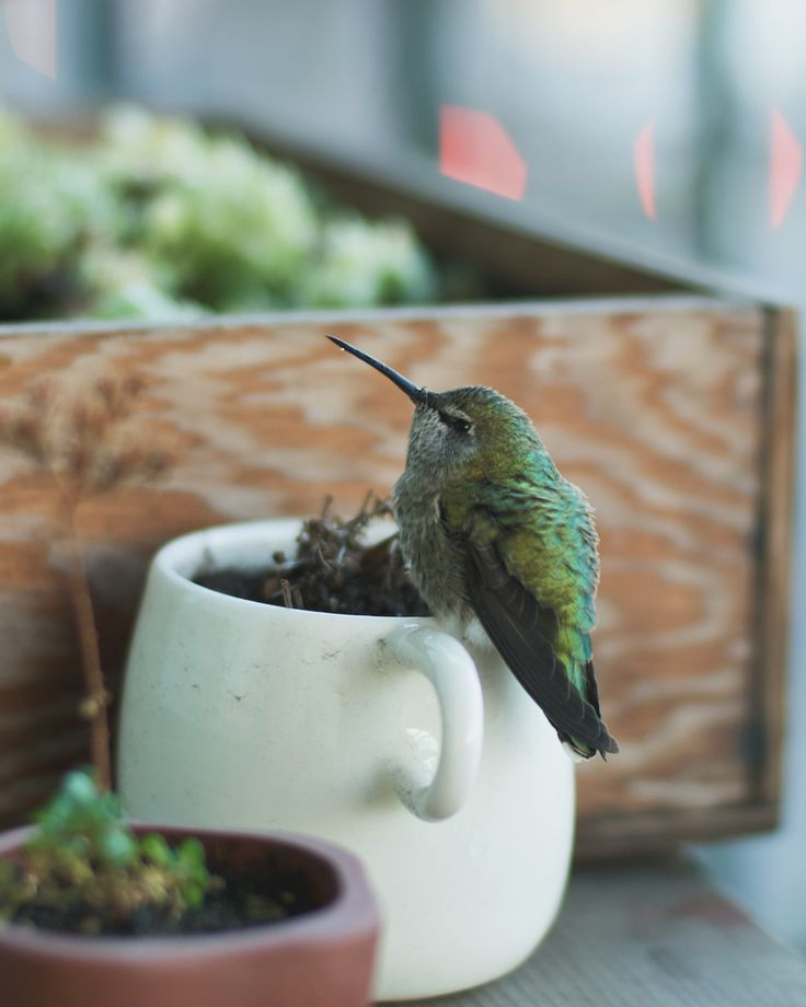 hummingbird perched on a coffee cup | bird + wildlife photography