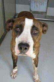 11/6/16- HOOCH- WILL BE DESTROYED SOON - FOUND IN THE DOLLY NIXON RD AREA. AVAILABLE AT NEWNAN - COWETA ANIMAL SHELTER,  GEORGIA. #TX8. PLEASE FOSTER OR ADOPT THIS DOG!